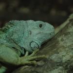 2009-01-10 Lizard