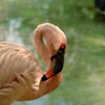 2009-09-20 Flamingo