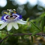 2012-01-07 Passionsblume